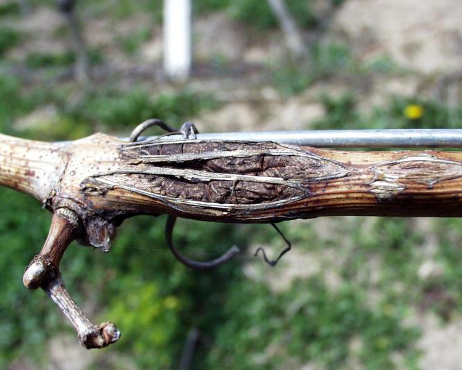 Photos maladies - Parasite de la vigne ...